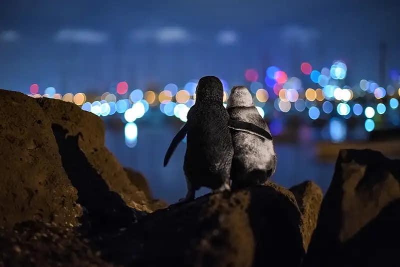 Widowed penguins comfort each other